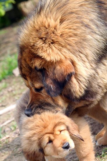 femelle dogue du tibet et son petit