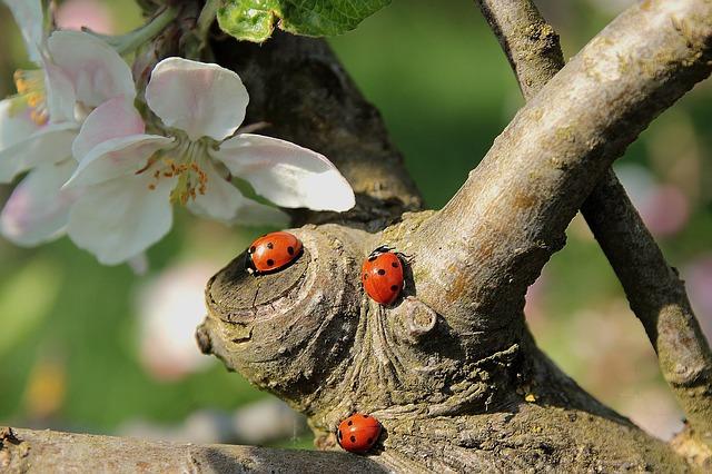 Trois coccinelles sur un tronc d'arbre à fleurs.