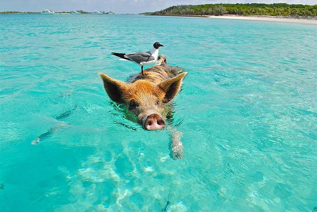 Petit cochon nageant dans une eau turquoise avec un oiseau posé sur son dos