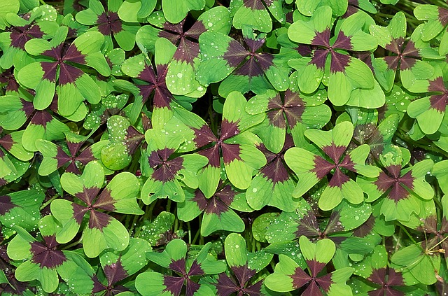 Champs de trèfles à quatre feuilles.